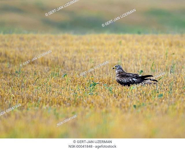 Red Kite (Milvus milvus) in a cornfield, Germany, muritz
