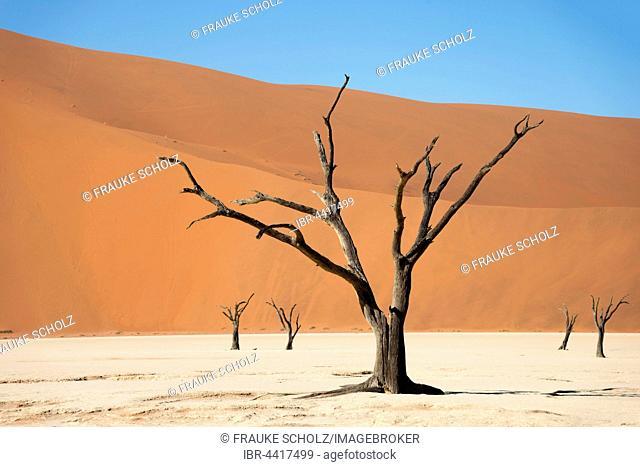 Dead camel or giraffe thorn (Acacia erioloba) trees in front of sand dunes, Dead Vlei, Sossusvlei, Namib Desert, Namib-Naukluft National Park, Namibia