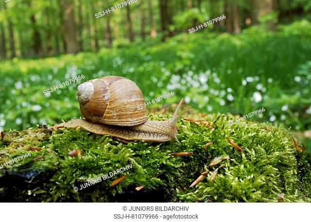 Roman Snail, Escargot, Edible Snail, Burgundy Snail (Helix pomatia) on moss. Germany
