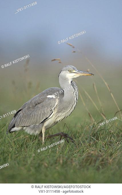 Grey Heron / Graureiher ( Ardea cinerea ), walking through high grass of a meadow, searching for food, prey, wildife, Europe