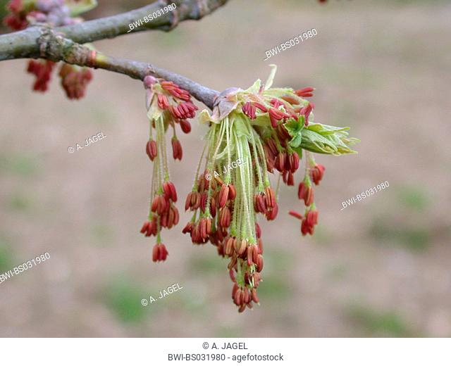 Tree Flower Acer Negundo Stock Photos And Images Age Fotostock