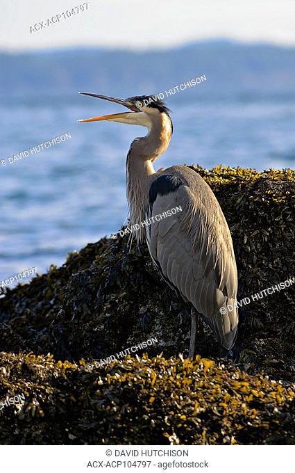 Great Blue Heron Sidney, BC, Canada
