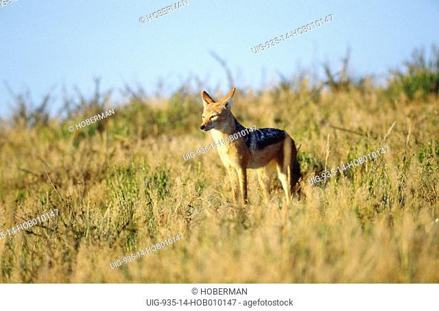 Black-Backed Jackal, Kgalagadi Transfrontier Park, South Africa