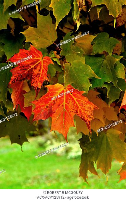A horizontal image of maple tree leaves changing to the bright reds of autumn in Atlantic Canada at Sussex New Brunswick, Canada