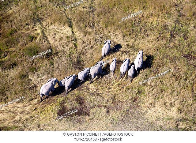 African Elephant (Loxodonta africana), aerial view, Okavango Delta, Botswana. . The Okavango Delta is home to a rich array of wildlife