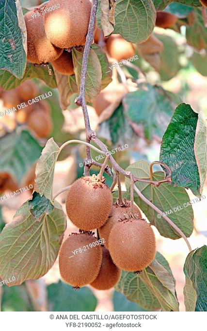 ripe fruits of kiwi plant - organic cultivation Spain