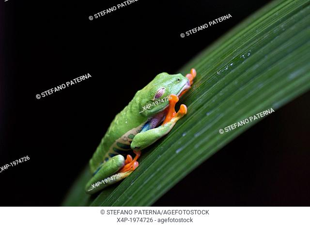 Red-Eyed Tree Frog, Agalychnis callidryas, Costa Rica