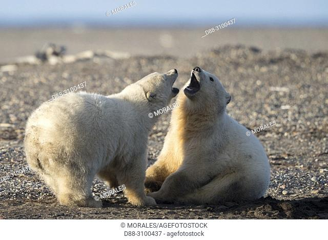 United States, Alaska, Arctic National Wildlife Refuge, Kaktovik, Polar Bear( Ursus maritimus ), babies playing along a barrier island outside Kaktovik, Alaska