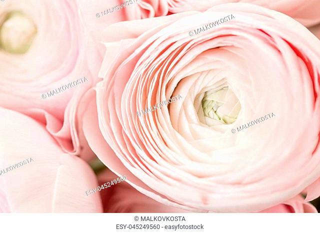 Persian buttercup. Bunch pale pink ranunculus flowers light background. Wallpaper