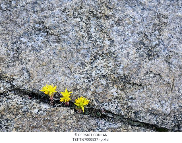 Yellow wildflowers growing in rock crevice in Mount Goliath Natural Area