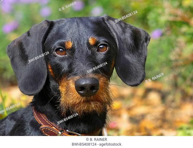 Wire-haired Dachshund, Wire-haired sausage dog, domestic dog (Canis lupus f. familiaris), black and tan nineteen months old male dog, portrait, Germany