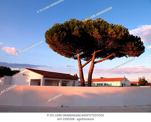 France, Poitou-Charente region, Charente maritime departement (17), Re island (Ile de Re), typical local house and pine tree