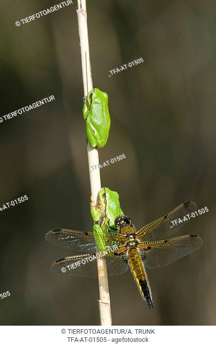 greenbacks and four-spotted chaser