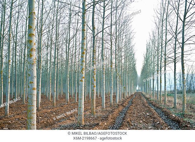 Poplar grove. Burgos. Castile and Leon, Spain