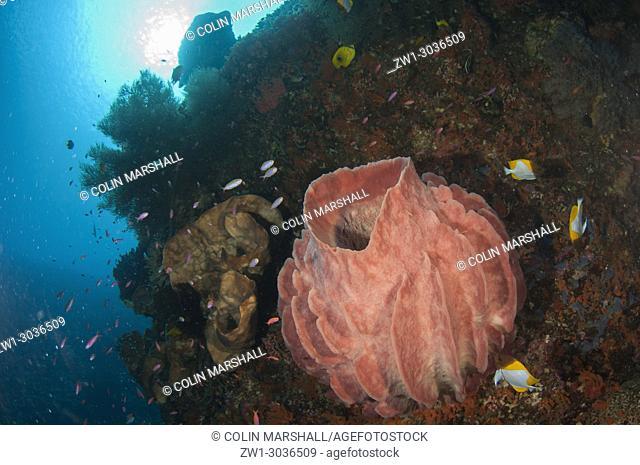 Barrel Sponge (Xestospongia testudinaria) with Pyramid Butterflyfish (Hemitaurichthys polylepis) and sun in background, Pohong Miring dive site, Banda Besar