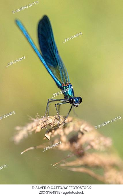 Banded demoiselle, adult male perched, Campania, Italy (Calopteryx splendens)