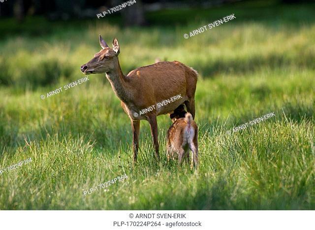 Red deer (Cervus elaphus) hind suckling fawn / calf in grassland at forest edge