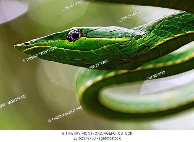 Oxybelis fulgidus. Portrait of a vinesnake. French Guiana