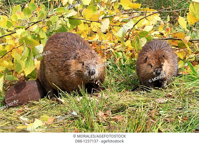 Beaver  Adult and young from the year  Castor fiber  Order : Rodentia  Sub-order : Sciuromorpha  Family : Castoridae