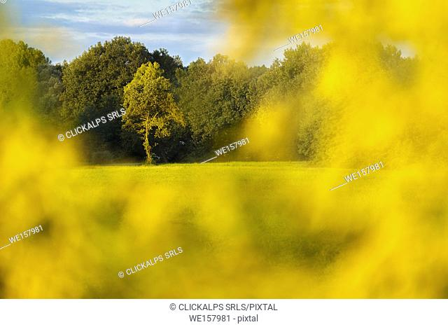 Yellow flowers frame a lonely tree at sunrise, Como province, Lombardy, Italy, Europe