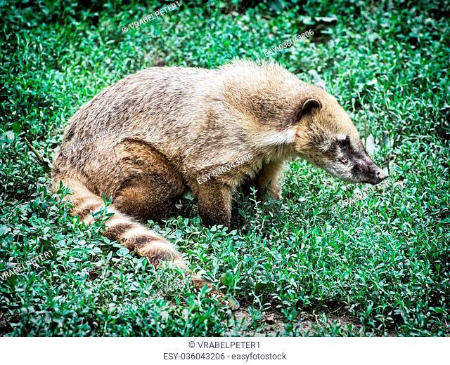 Nasua (Ring-tailed coati) hiding in the green vegetation. Animal scene. Beauty in nature
