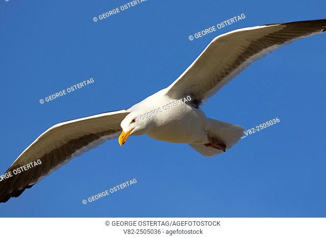Gull in flight, Morro Rock Beach, Morro Bay, California