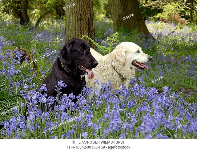Domestic Dog, Flat-coated and Golden Retrievers, sitting amongst bluebells, Warren Hill, West Sussex, England