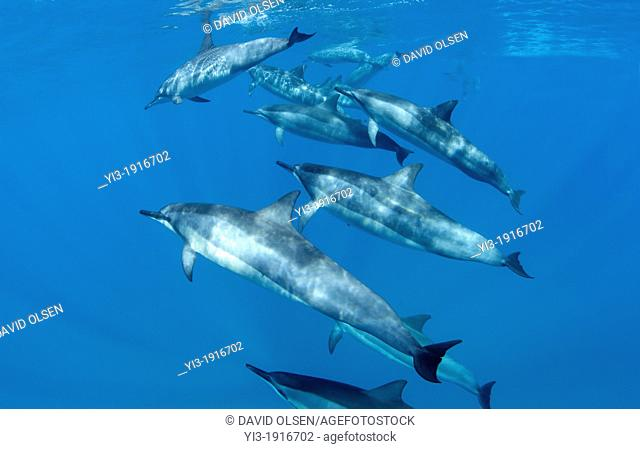 A pod of spnner dolphins swim off the coast of Maui