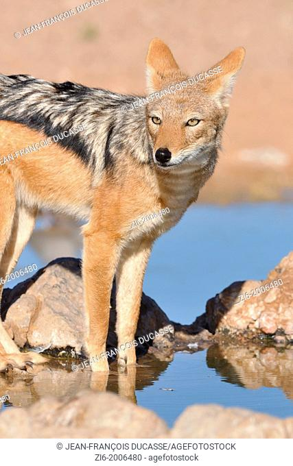 Black-backed Jackal, Canis mesomelas, standing at the waterhole, Kgalagadi Transfrontier Park, Northern Cape, South Africa