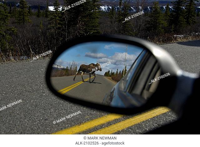 View Of A Moose Crossing The Road As Seen Through A Vehicle's Side View Mirror In Denali National Park, Alaska During Early Spring