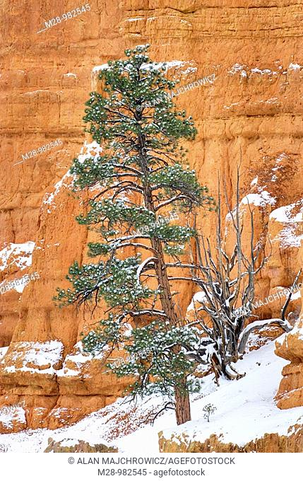 Trees dusted with snow in Red Canyon Dixie National Forest Utah