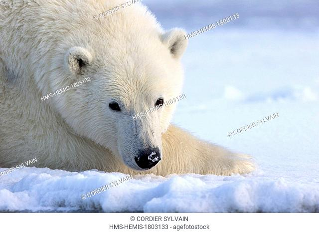 United States, Alaska, Arctic National Wildlife Refuge, Kaktovik, Polar Bear( Ursus maritimus ), along a barrier island outside Kaktovik, Alaska