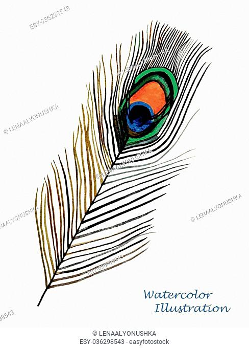 Watercolor peacock feather on white background. Hand painted realistic illustration