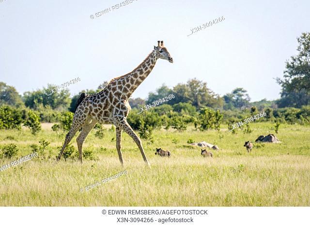 A giraffe runs through the grassland of Zimbabwe where warthogs stand nearby. Zimbabwe
