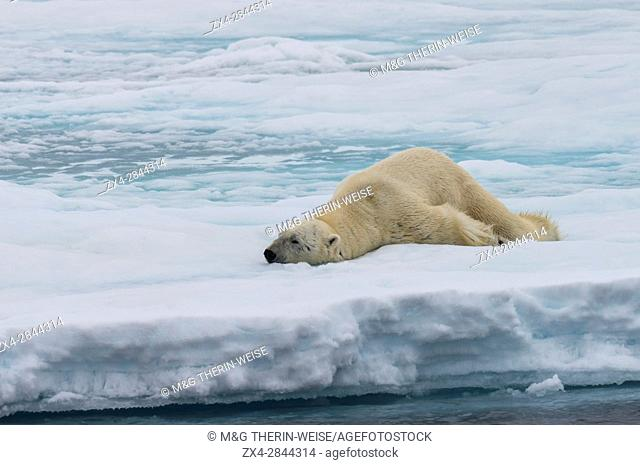 Male Polar bear (Ursus maritimus) stretching on pack ice, Svalbard Archipelago, Barents Sea, Norway, Arctic, Europe