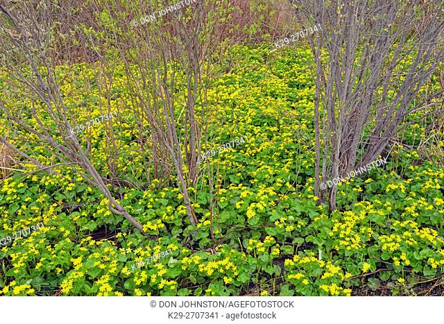 Flowering marsh marigolds and cedar split-rail fence, Monument Road near Mindemoya, Manitoulin Island, Ontario, Canada