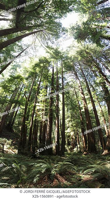 Sequoia sempervirens at Muir Woods National Monument, The monument is one of the last old growth Coastal Redwood Forests remaining in the San Francisco Bay Area