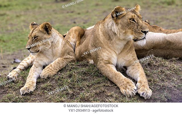 lions waiting for prey . Masai Mara National Reserve, Kenya