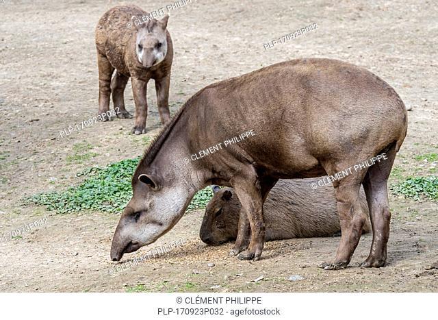 South American tapir / Brazilian tapir / lowland tapir (Tapirus terrestris) with young and capybara (Hydrochoerus hydrochaeris) in zoo