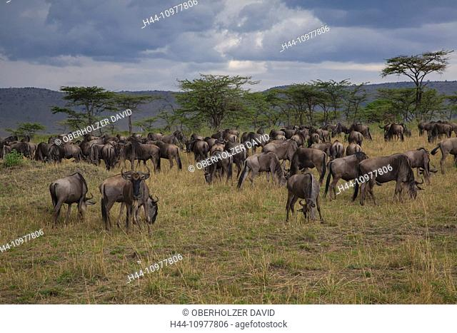 Africa, gnu, wildebeest, scenery, landscape, light, mood, travel, savanna, Serengeti, mammals, Tanzania, East Africa, animals, flock, herd, wilderness
