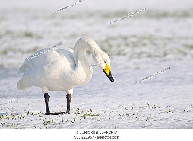 Whooper Swan (Cygnus cygnus) adult standing on a snow covered meadow during the migration, Schleswig-Holstein, Germany