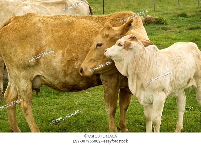 motherly love mother cow with baby spring calf