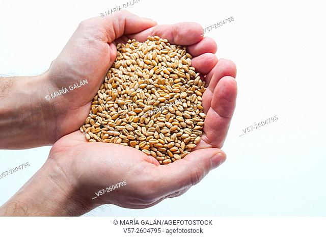 Man's hands holding wheat grains. Close view