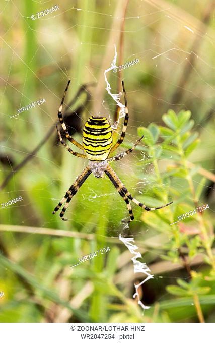 Argiope bruennichi, Wasp spider from Germany