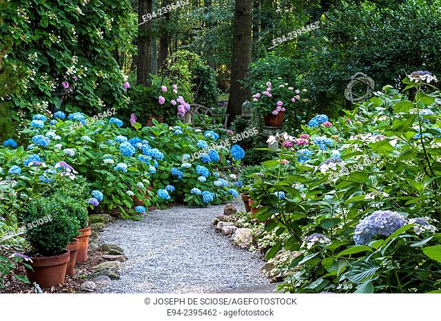 A pathway in a garden setting featuring hydrangeas and boxwoods.Georgia USA