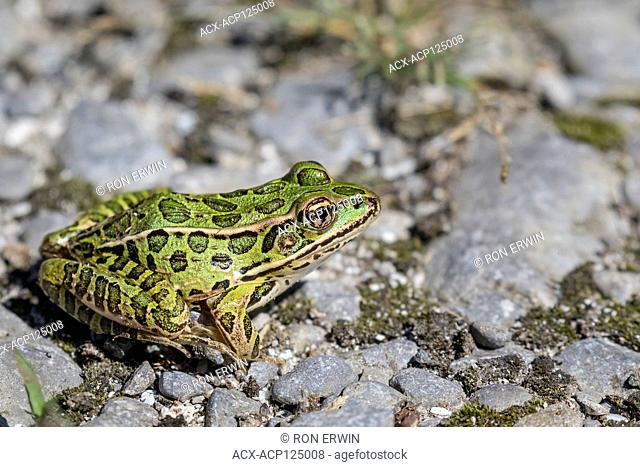 Northern Leopard Frog (Lithobates pipiens), Prince Edward Point National Wildlife Area, Ontario, Canada