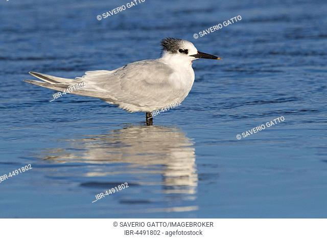 Sandwich Tern (Thalasseus sandvicensis), slightly injured adult resting in shallow water, Campania, Italy