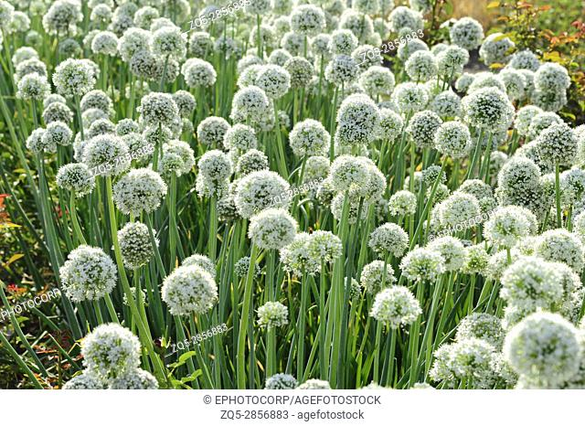 Onion flowers in the field, near Pune Maharashtra