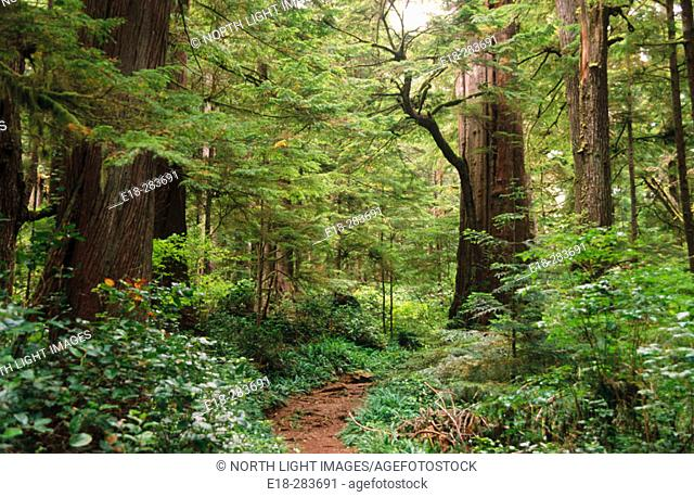 The West Coast Trail winds through the forest. Pacific Rim National Park. Vancouver Island, Canada