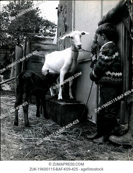 1972 - A new job for the Nanny: Nanny the goat, at Roy Edginton's smallholding at Kensworth, Beds has certainly found herself and unusual job